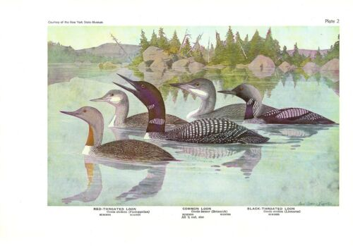 "1936 Vintage FUERTES BIRDS #2 /""3 LOONS BLACK/"" Color Art Plate Lithograph RED"