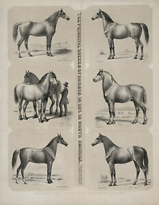 1872-HORSE-BREEDS-American-antique-decor-Drawings-20-034-x16-034-Art-Print