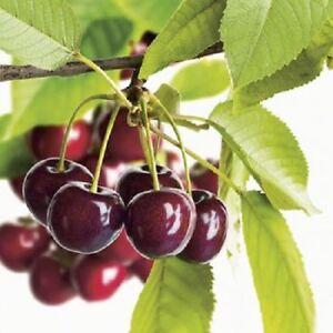 Cherry-Tree-Regina-Cordon-8L-Pot-Plant-Fruit-Dessert-Prunus-Avium-Fully-Hardy