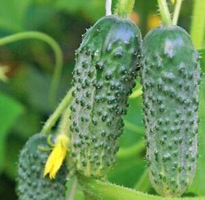Seeds-Rare-Cucumber-Titus-F1-Pickling-Vegetable-Organic-Russian-Ukraine