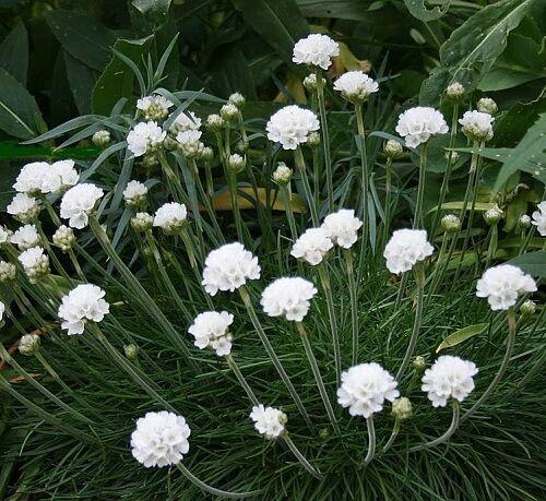 Armeria maritima /'Alba/' White Sea Thrift//Hardy vivace//30 graines