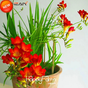 Details About Red Freesia Bonsai Flowers Perennial Plants 100 Pcs Seeds Free Shipping Rare New