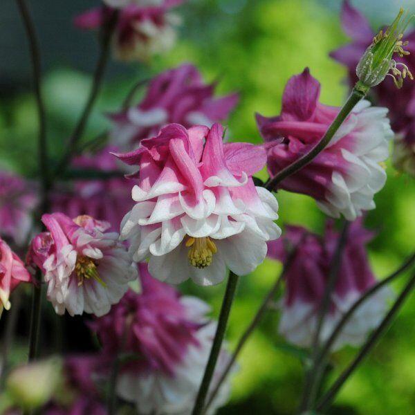 PERENNIAL 50 ORIENTAL COLUMBINE AQUILEGIA FLOWER SEEDS