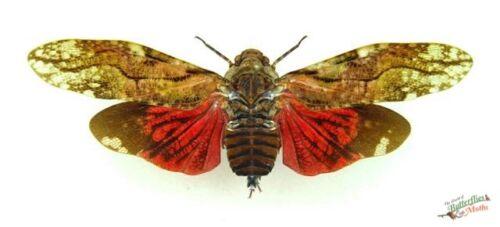 Aracynthus Sanguineus Lantern Fly  x1 SET A1-specimen  Artwork.