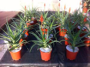 ALOE-ARBORESCENS-curativa-GRATIS-Cactus