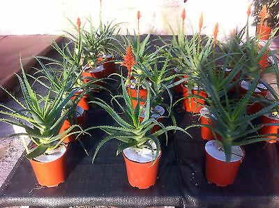 Armatocereus Rauhii  v Columnar Tree Cactus Balsasensis 10 seeds
