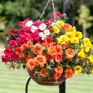 PORTULACA-GRANDIFLORA-DOUBLE-MIX-MOSS-ROSE-3500-FINEST-SEEDS