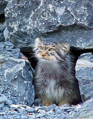 METAL MAGNET Gray Black Palla/'s Cat aka Manul Travel England MAGNET