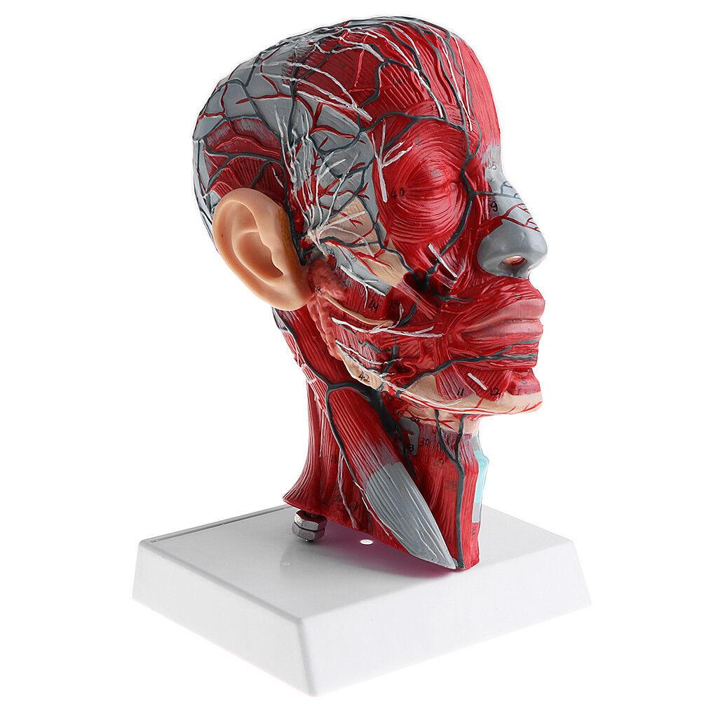Sección intermedia de 1  1 cabeza humana con esqueleto