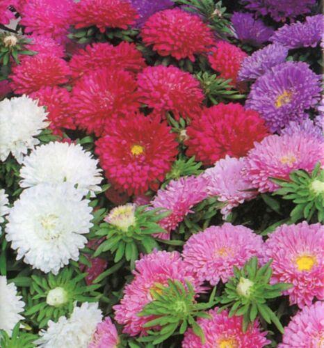 ASTER colore Carpet Mix 300 Semi HH annuale