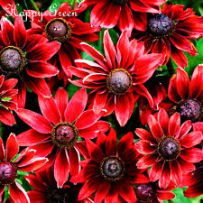 Coneflower-Rudbeckia intransitable Cherry Brandy-Black Eyed Susan - 100 semillas