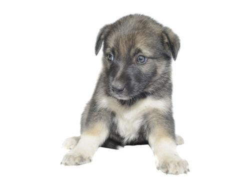 Wandsticker Wandtattoo Wandaufkleber Kinderzimmer Welpe kleiner Hund süß