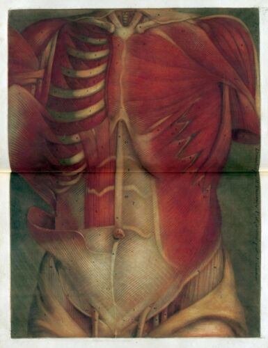 1748 Antique medical poster print flayed HUMAN skinless torso muscles bones 91