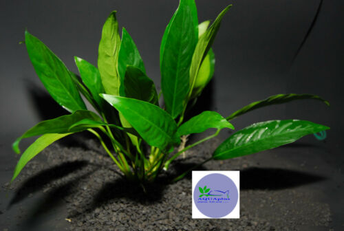 ANUBIAS LANCEOLATA-Freshwater Aquatic Live Plants