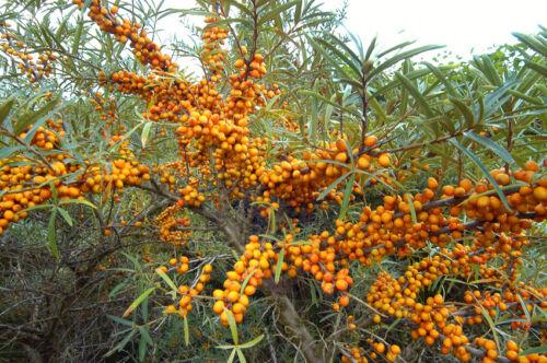 Jardin Hiver Exotique Vitamine riche graines Sanddorn