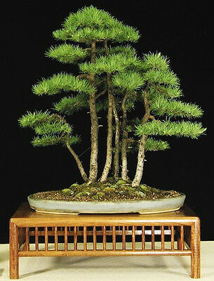 Bald Cypress (Taxodium distichum) - 30 Seeds Bonsai or Feature