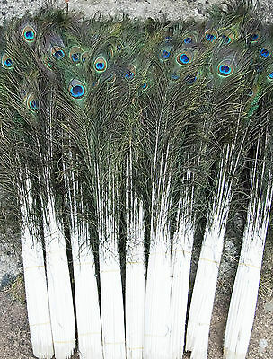 LONG PEACOCK TAIL FEATHERS NATURAL 70-80CMS LONG FOR BOUQET MILLINERY CRAFT