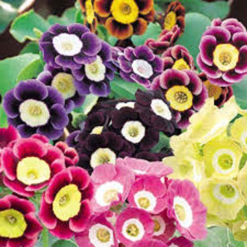 6 Primula  Auricula Mixed  Primrose Perennial   Alpine  Jumbo Plug plants