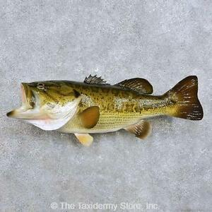 14377 e 23 largemouth bass freshwater taxidermy fish for Bass fish for sale