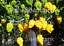 Carolina-Reaper-Yellow-Chilli-5-Australian-Grown-Seeds-World-039-s-Hottest-Chili