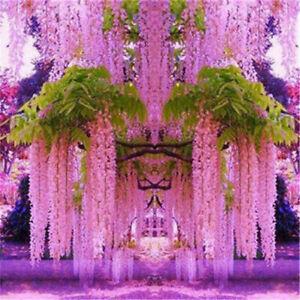 Purple Wisteria Flower Seeds Perennial Climbing Plant Bonsai Home Garden