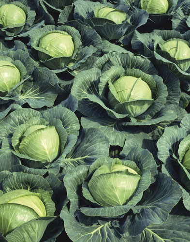 2500 Seeds Cabbage Golden Acre Large Vegetable