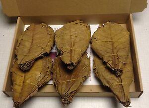 Seemandelbaumblaetter-100-Stueck-XL-ca-15-20cm-naturgetrocknet-Catappa-Leaves