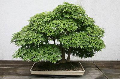 Japanese Maple Tree, Excellent outdoor Bonsai Fresh seeds, Stunning tree!