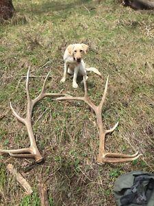 Single-Split-L-Colorado-Rocky-Mountain-Fresh-Elk-Antler-Dog-Chew-Free-Shipping