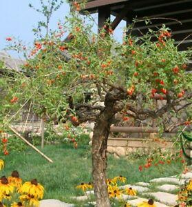Goji Berry Seeds Lycium Chinense Seeds Wolfberry Fruit Tree Bonsai