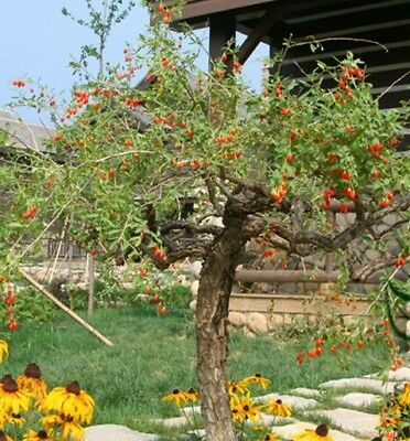 Goji Berry Seeds Lycium Chinense Seeds Wolfberry Fruit Tree Bonsai