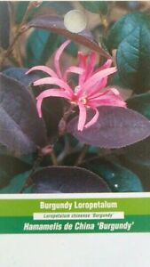 Burgundy Loropetalum Shrub Flowering Plant Home Garden Bush Landscape Evergreen