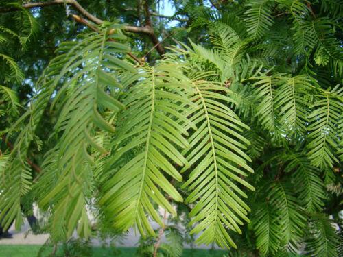 Bonsai per Semina Vivente Fossil Albero Metasequoia Alba Legno di Sequoia,