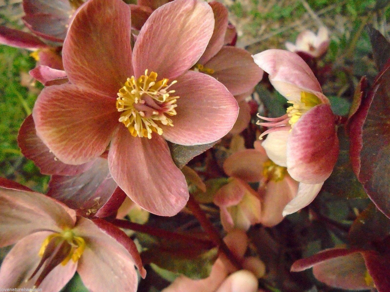 Devil´s tobacco Lobelia bridgesii 150 fresh seeds Hardy perennial
