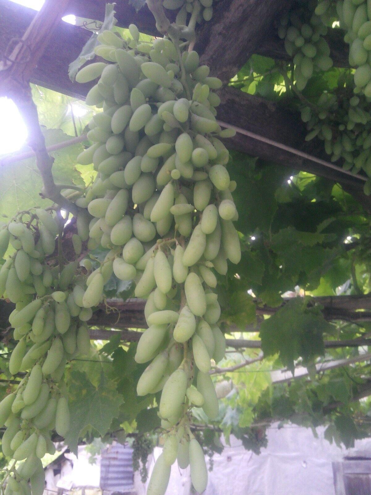Dedo de oro verde uva (injertadas) de Turquía