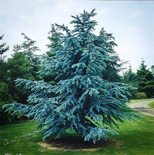 Cedrus atlantica glauca Blue Atlas Cedar Jeune Arbre 20 cm