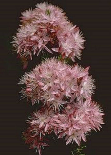 PINK FRINGE MYRTLE SEEDS CALYTRIX TETRAGONA NATIVE FLOWERING SHRUB 240 SEED PACK