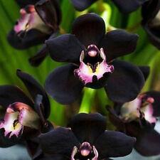 100x Semi neri Cymbidium Faberi fiore di orchidea