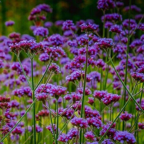 1000 seeds Best flower for borders Verbena Bonariensis Purpletop Vervain