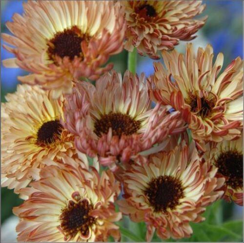 100 graines Fleur-grosses graines-photo paquet-calendula-Sherbert fizz