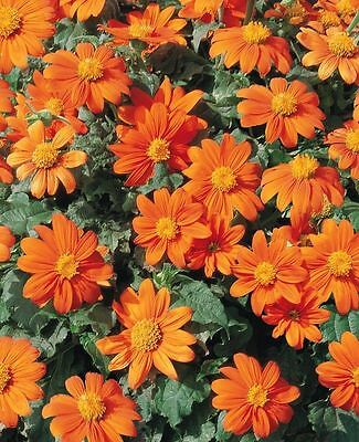 Mexican Sunflower Seeds,Orange/Gold (100 SEEDS)  Tithonia Speciosa Goldfinger