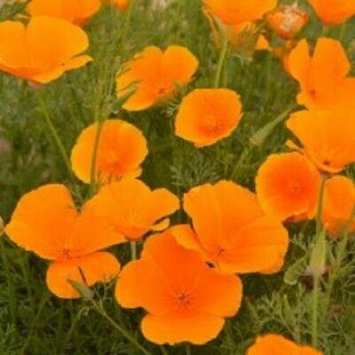Californien pavot 100 graines orange Eschscholzia Californica