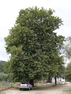 Oriental Planetree - Platanus Orientalis - Oriental Sycamore