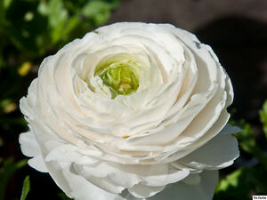 25 x white ranunculus persian buttercup garden plant flower image is loading 25 x white ranunculus persian buttercup garden plant mightylinksfo