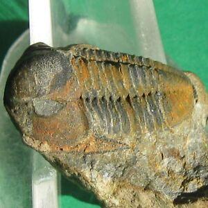 Unique-Specimen-Aulacopleurid-Trilobite-fossil