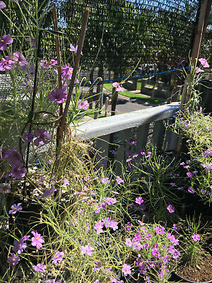 Very Rare 5 Seeds * * Byblis Liniflora Australian Rainbow Carnivorous Plant
