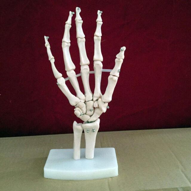 Hand Joint Skeleton Anatomical Model Human Medical Anatomy Life Size