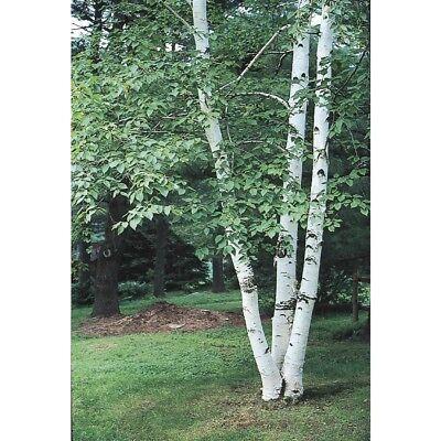 Tree Seeds Online Paper Birch 100 Seeds 1 Packs Betula Papyrifera