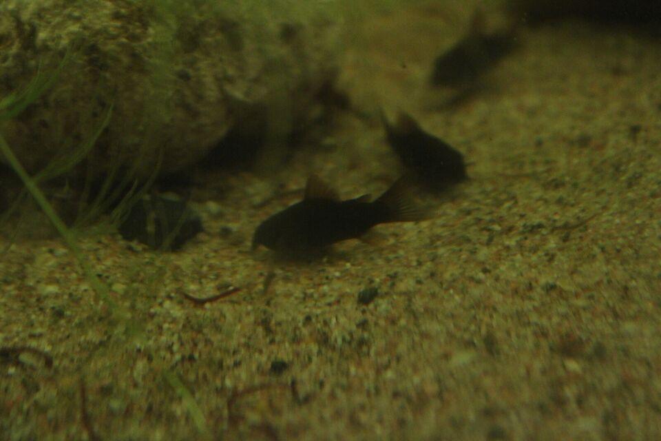 Corydoras black schultzei, 6 stk.