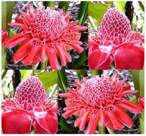 G Fackel Ingwer roter Ingwer Lilie 10 Samen der Etlingera elatior red